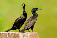 Water Dogs (Double-crested Cormorants)