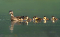 Wood Duck & Babies in the Fog