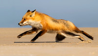 Fox at the Beach