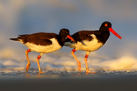American Oystercatchers in First Morning Light