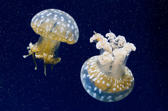 Spotted Lagoon Jellies