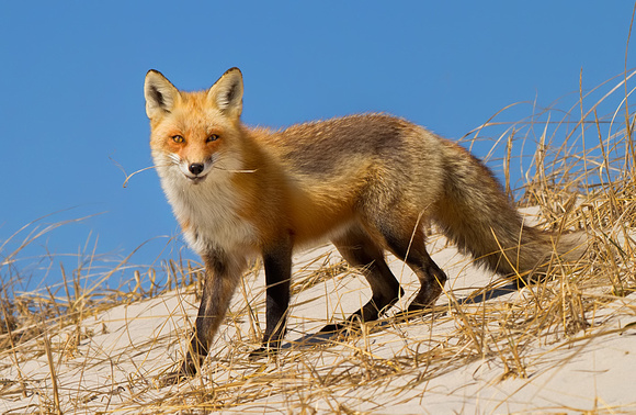 Smiling Red Fox with Beach Grass