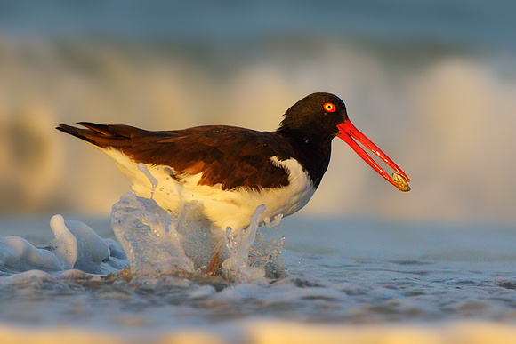 Oystercatcher with Sand Crab