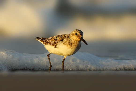 Sanderling in Morning Light