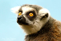 Long-tailed Lemur Portrait