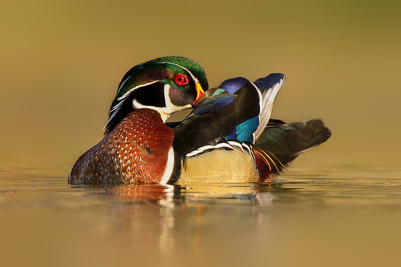Preening Wood Duck