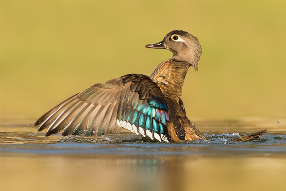 Female Wood Duck Flapping